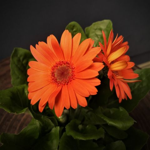 Gerbera 'Colourgame orange'  P9