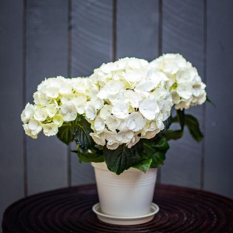 Suurelehine hortensia valge P14 35cm
