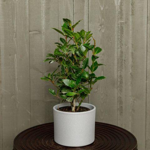 Harilik loorberipuu P14 50cm