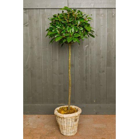 Harilik loorberipuu tüvel P20 130cm