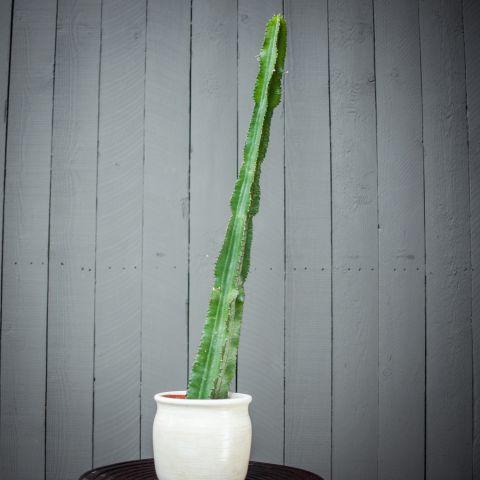 Kaktus 'Canarias' P17 35 cm