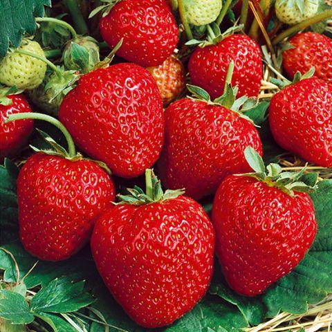 Maasikas 'Korona' 6-pakk