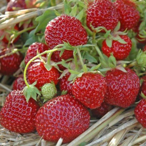 Maasikas 'Senga Sengana' 6-pakk