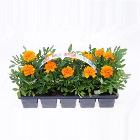 Madal peiulill kollane/oranz 10-pakk