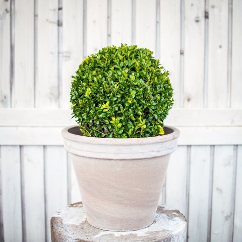 Harilik pukspuu C5 20-25 cm keravorm