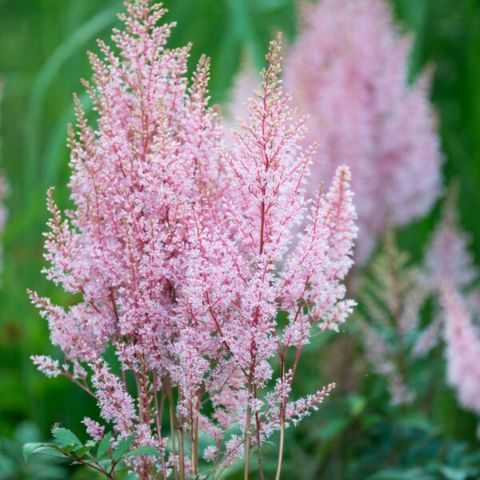 Astilbe 'Look at Me'®