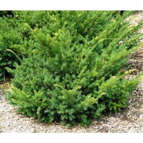 Ida-jugapuu 'Nana' C2 25-30cm
