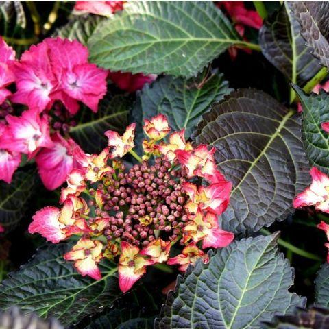 Suurelehine hortensia 'Black Diamonds Red Angel' C5