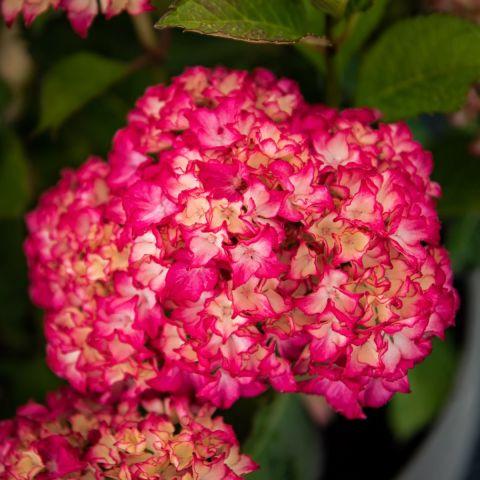 Suurelehine hortensia 'Selma' C5