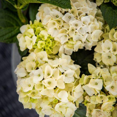 Suureleheline hortensia'Forever & Ever'® C5