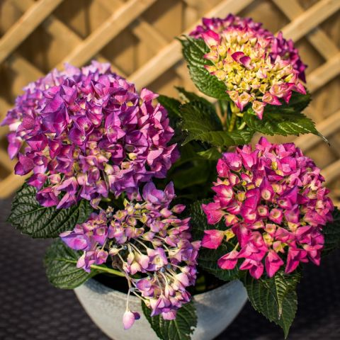Suurelehine hortensia 'Jip' C5