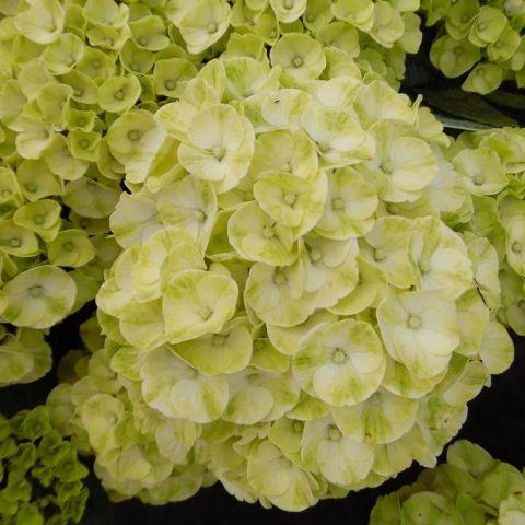 Suurelehine hortensia 'Caipirinha' C5
