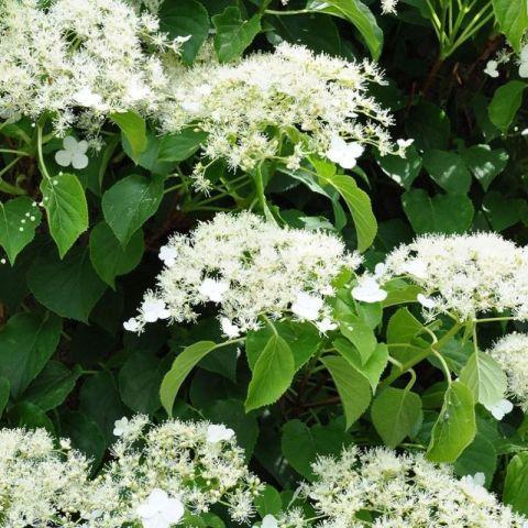 Roniv hortensia C1,5
