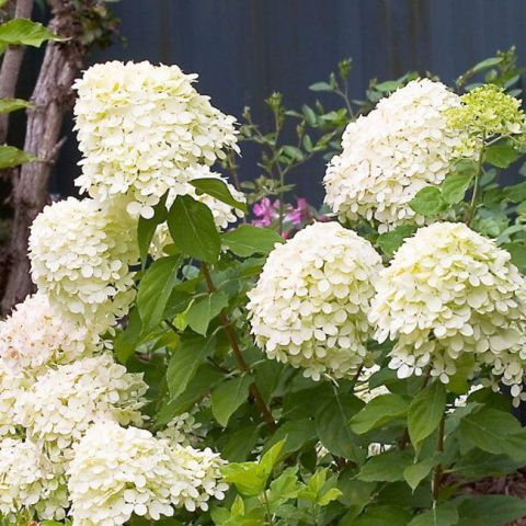 Aedhortensia 'Little Lime' C2