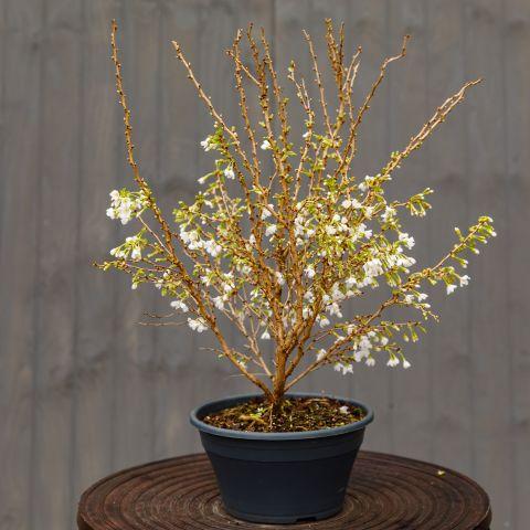 Hambuline kirsipuu 'Kojou-no-mai' C5