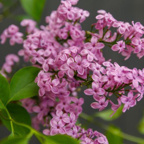 Ruaani (hiina) sirel 'Lilac Sunday' C5 50-70cm