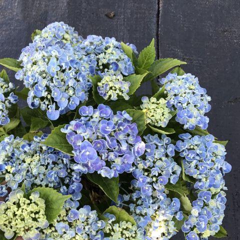 Suurelehine hortensia 'Curly Wurly' C5 valik valge, roosa või sinine