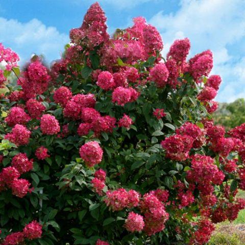 Aedhortensia 'Wim's Red' C5 20-30cm