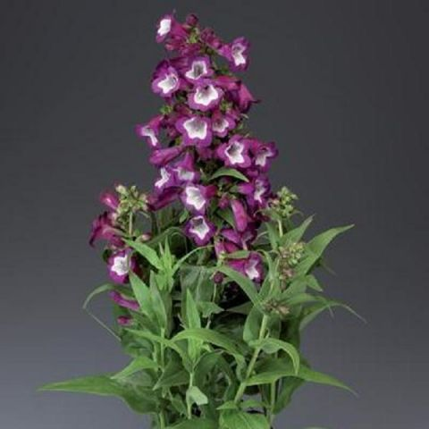 Peekerlill 'Phoenix purple' C1,5