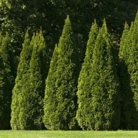 Harilik elupuu 'Pyramidalis Compacta' 100-125cm mullapalliga