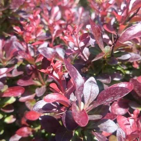 Thunbergi kukerpuu 'Atropurpurea Nana' C10