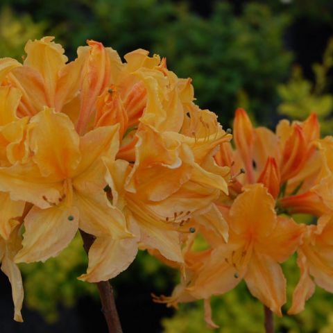 Rododendron (asalea) 'Golden Lights' C7,5 40-50 cm