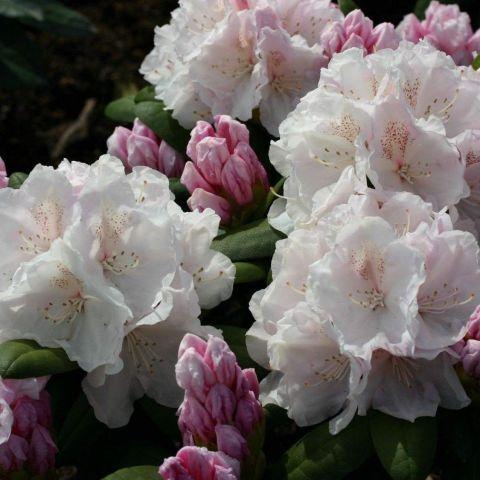 Jakušiima rododendron 'Schneekrone' C5 30-40cm