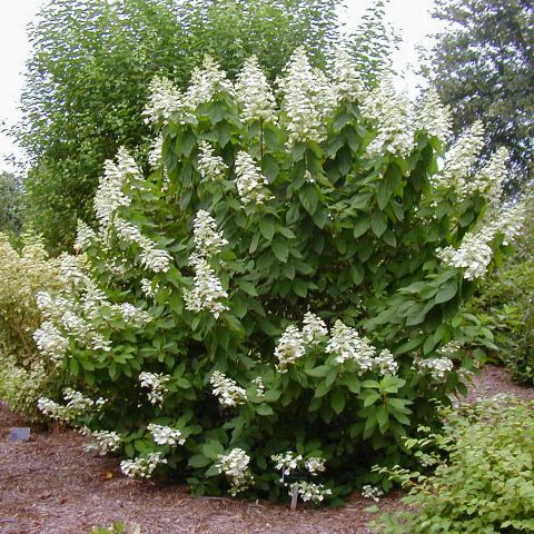 Aedhortensia 'Tardiva' C2 40-50 cm