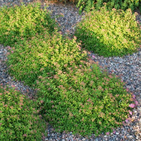 Jaapani enelas 'Green Carpet' C1,3 20-25 cm