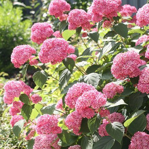 Puishortensia 'Pink Annabelle' C3 30-40cm
