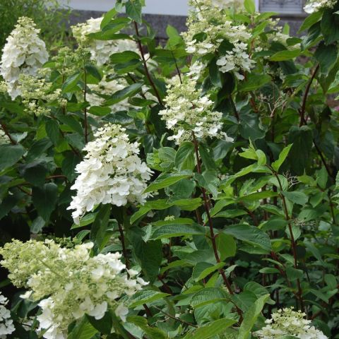 Aedhortensia 'Kyushu' C2 40-50 cm