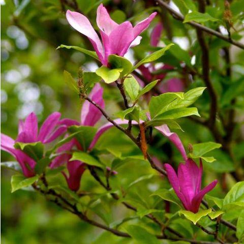 Magnoolia 'Susan' C7,5 60/80 cm