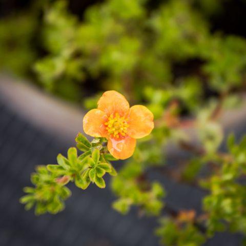 Harilik põõsasmaran 'Hopley's Orange' C3 30-35 cm
