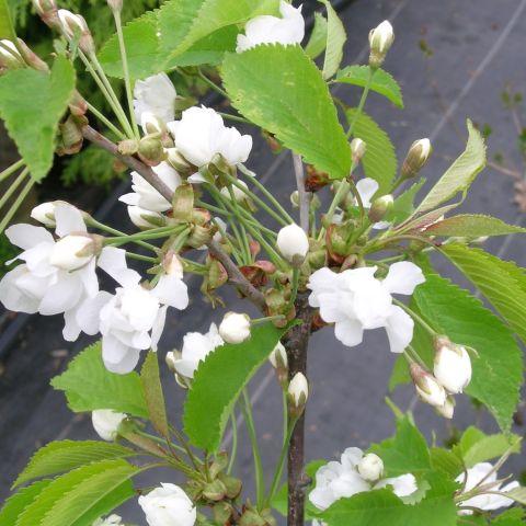 Longus kirsipuu 'Pendula Plena Rosea' C5 80cm tüvel