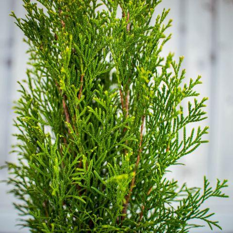 Harilik elupuu 'Smaragd' C2 40-60 cm