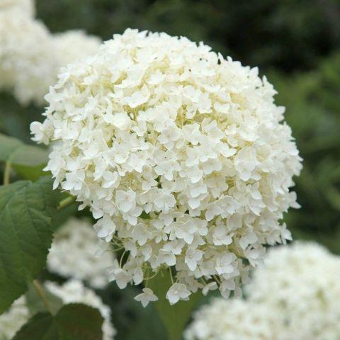 Puishortensia 'Annabelle' C5 30-40 cm