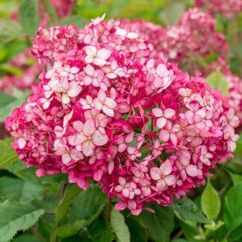 Puishortensia 'Ruby Annabelle' C3 25-30cm
