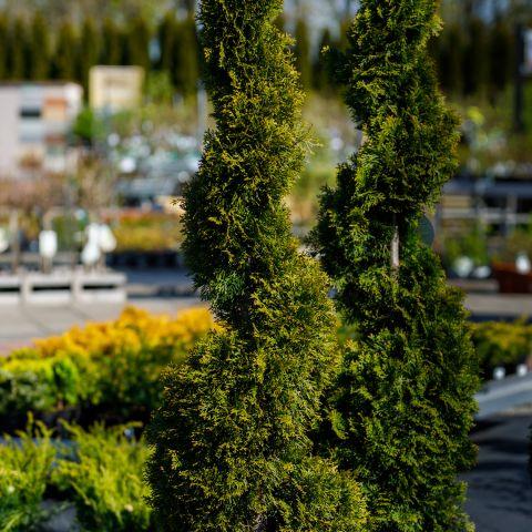 Harilik elupuu 'Smaragd' C45 160-170cm spiraal