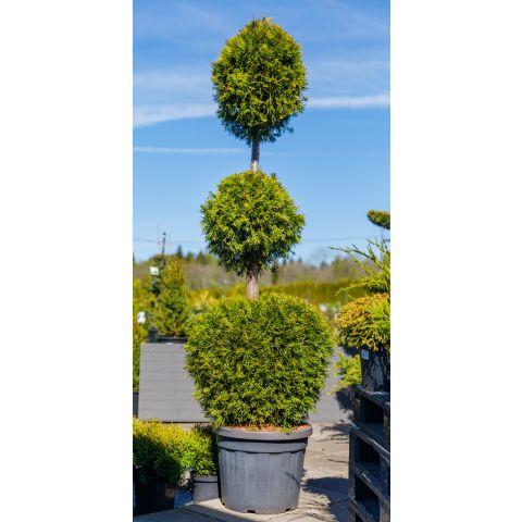 Harilik elupuu 'Smaragd' C45 180-200cm 3 palliga