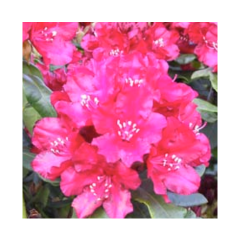 Rododendron 'Nova Zembla' C5 40-50cm