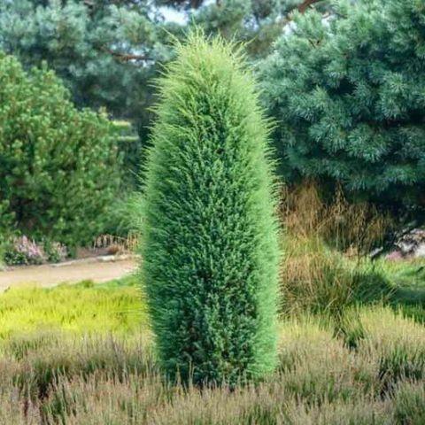 Harilik kadakas 'Hibernica' C3 30-40cm