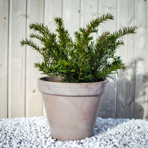Harilik jugapuu 'Repandens' C3 20-25 cm