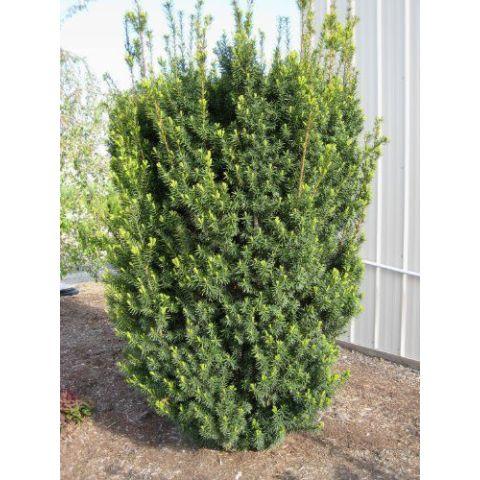 Värd-jugapuu 'Hicksii' C2 30-35 cm