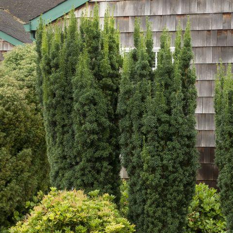 Värd-jugapuu 'Hicksii' 60-80 cm mullapalliga
