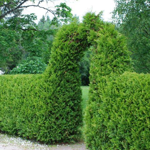 Harilik elupuu 'Brabant' 80-100 cm mullapalliga