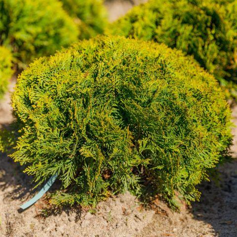 Harilik elupuu 'Danica' 40-45cm mullapalliga