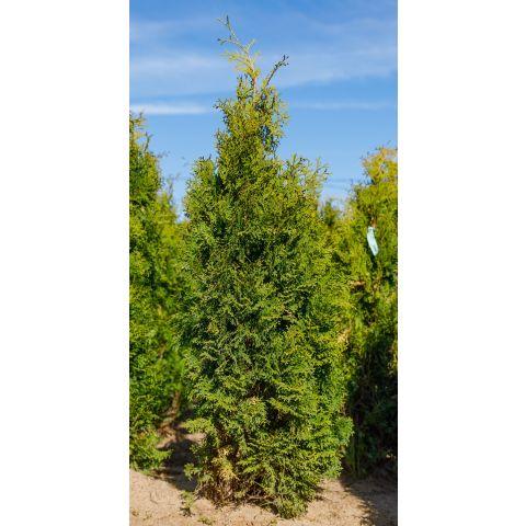 Harilik elupuu 'Holmstrup' 100-125cm mullapalliga