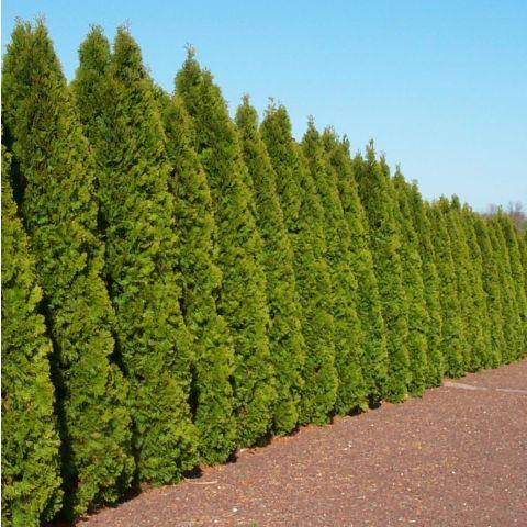 Harilik elupuu'Smaragd' 180 cm mullapalliga kõrgema kvaliteediga