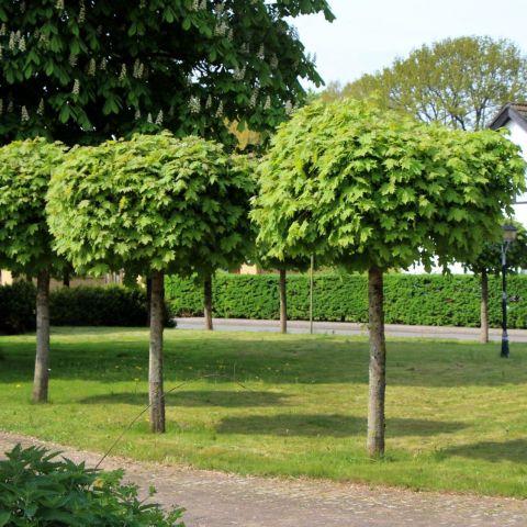 Harilik vaher 'Globosum' C7,5 120 cm