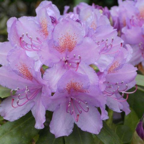 Rododendron 'Catawbiense Grandiflorum' C3 30 cm